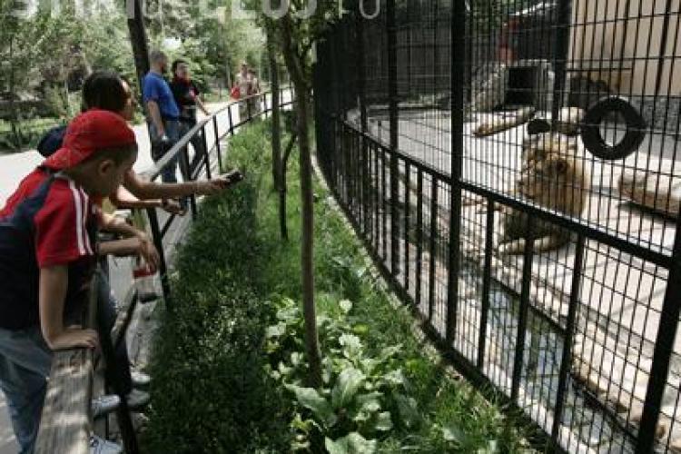 Copil scalpat de un leu la gradina Zoologica din Brasov - VIDEO