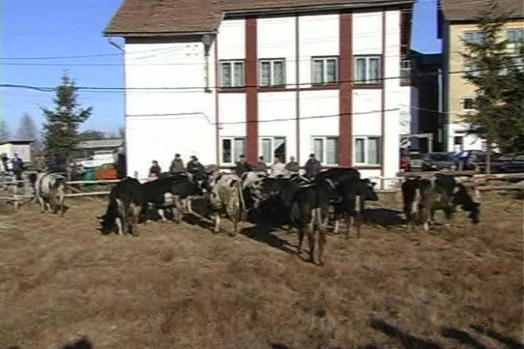 Vaci donate din Irlanda pentru satenii din Rasca, judetul Cluj. Laptele de la animale va merge si la orfelinate VIDEO