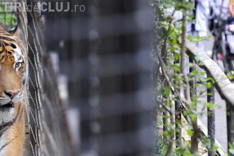 Tigrul care a fugit de la Gradina Zoologica din Sibiu a fost impuscat