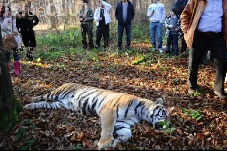 Ce a spus vanatorul care a ucis tigrul evadat de la Gradina Zoologica din Sibiu VIDEO