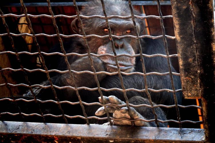 Batranul Felix este ultimul cimpanzeu din tara! POVESTEA CITITORULUI