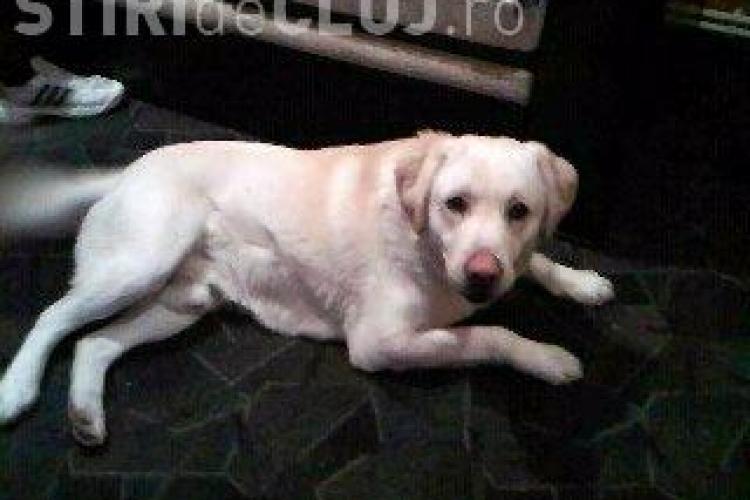 ANUNT: S-a pierdut un caine labrador in cartierul Grigorescu! FOTO