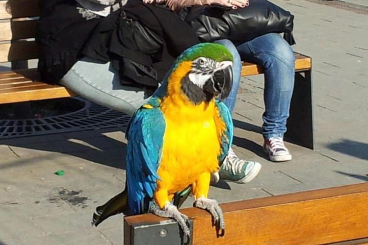 Un clujean si-a scos papagalul la plimbare pe bulevardul Eroilor! FOTO