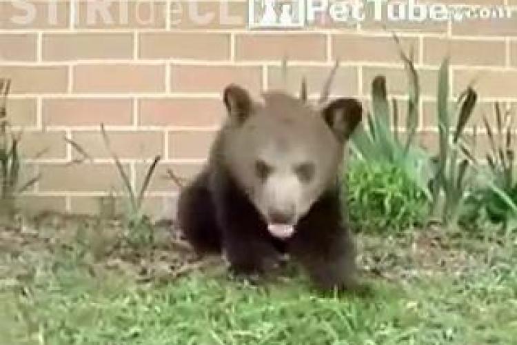 """VIDEO - Ursuletul """"Hapciu"""" a stranutat de 28 de ori in 30 de secunde. Filmuletul haios a facut inconjorul lumii"""