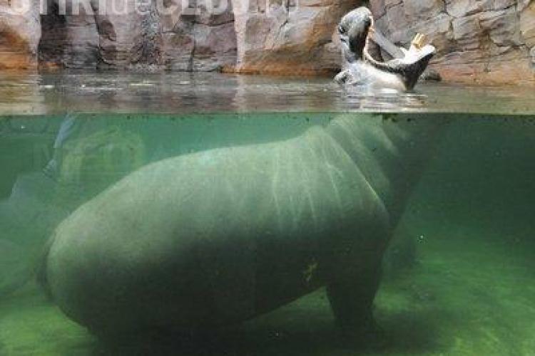 Cel mai bătrân hipopotam din lume a murit la vârsta de 62 de ani