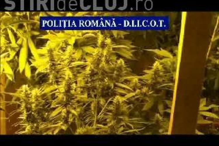 Cultură de CANNABIS, descoperită în subsolul unei case din Cluj. Plantele erau crescute cu muzică VIDEO
