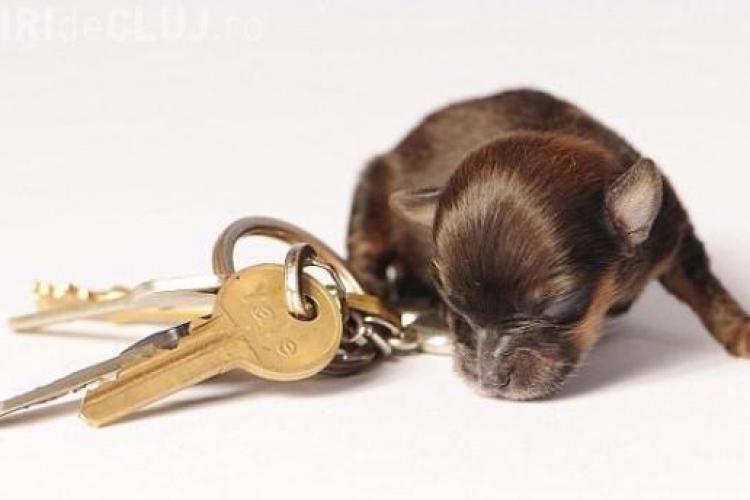 Cel mai MIC căţel din lume are doar 10 CM VEZI FOTO