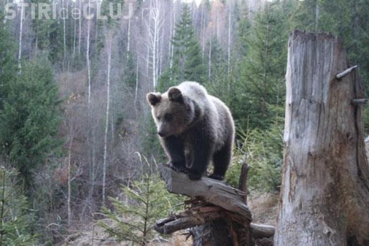 Urs brun monitorizat prin satelit în Maramureş de WWF, împuşcat de braconieri