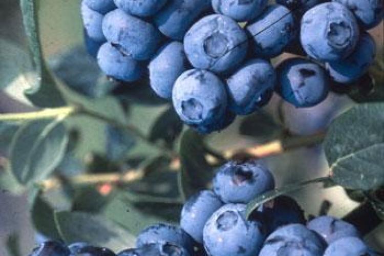 Consumul regulat de afine te întinereşte!