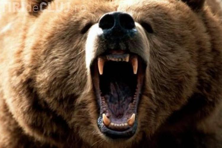 Urșii au ucis 12 vaci și patru oi în comunele Râșca și Măguri-Răcătău