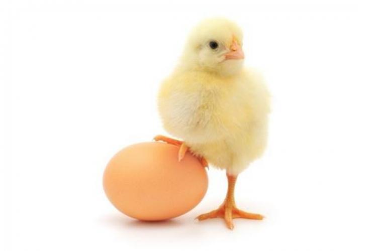 Răspunsul cercetătorilor la cea mai amuzantă dilemă. Ce a fost primul? Oul sau găina?