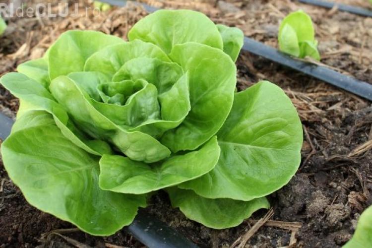 Epidemiolog: Salata verde din supermarket este chiar mai nesănătoasă ca și un hamburger