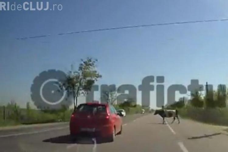 A lovit în plin o vacă aflată pe șosea - VIDEO LIVE