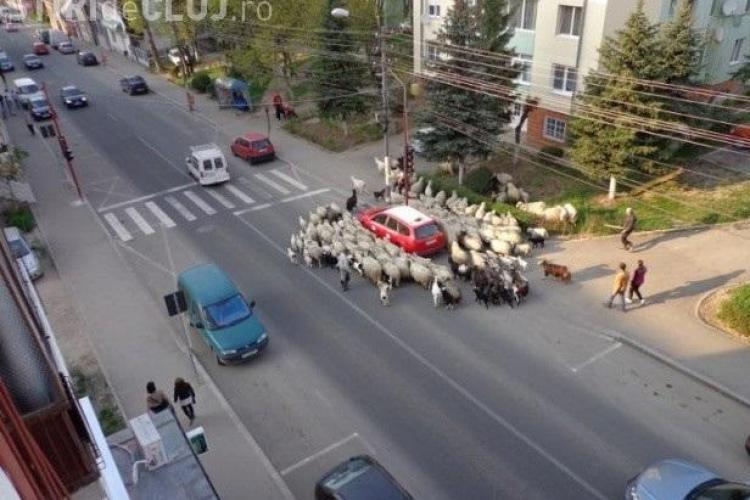 Un cioban a ieșit cu oile prin centrul Dejului - FOTO