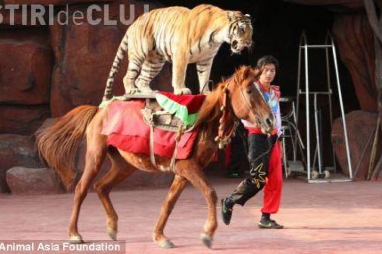 Ursi pe motociclete si tigrii calare! Mii de animale sunt brutalizate in circurile din China - FOTO