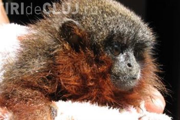 A fost descoperita o noua specie de maimute, care au barba rosie