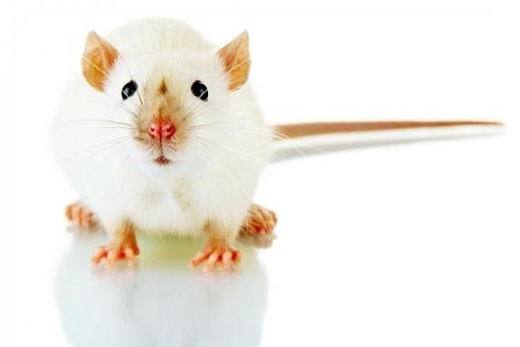 PREMIERĂ ȘTIINȚIFICĂ: Un șoarece a fost clonat dintr-o singură picătură de sânge