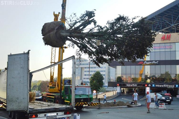 Fag roșu bătrân de 60 de ani și înalt de 11 metri, plantat în față la Iulius Mall FOTO
