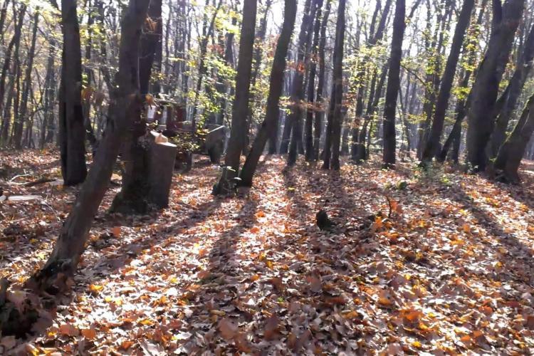 Pădurea Făget dispare încet sub drujbe. Imagini surprinse de un clujean cu cei care taie pădurea - FOTO