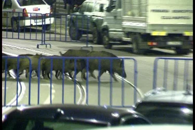 Cum au ajuns mistreții în centrul Mănășturului, între blocurile de la Calvaria - VIDEO