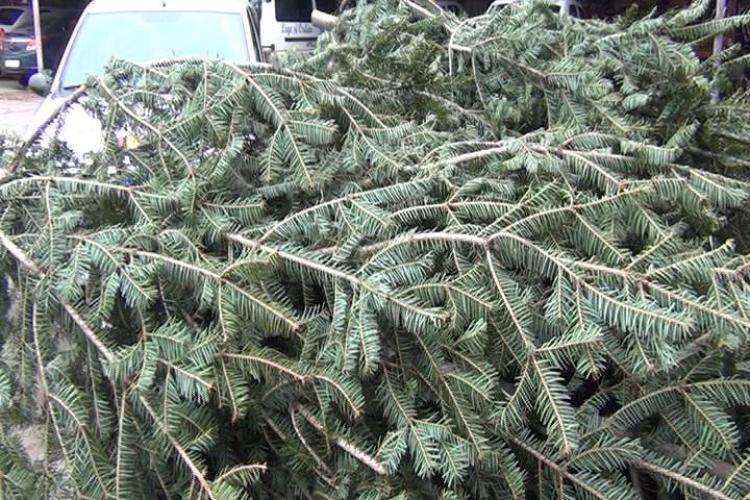 Aproape 450 de brazi de Crăciun, confiscați de polițiștii clujeni
