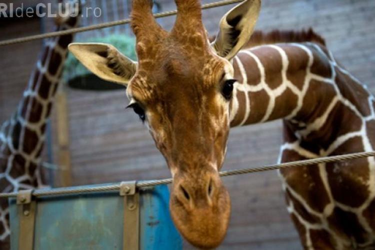 CRUZIME! Girafa Marius a fost împușcată în cap și dată la lei în fața unor copii