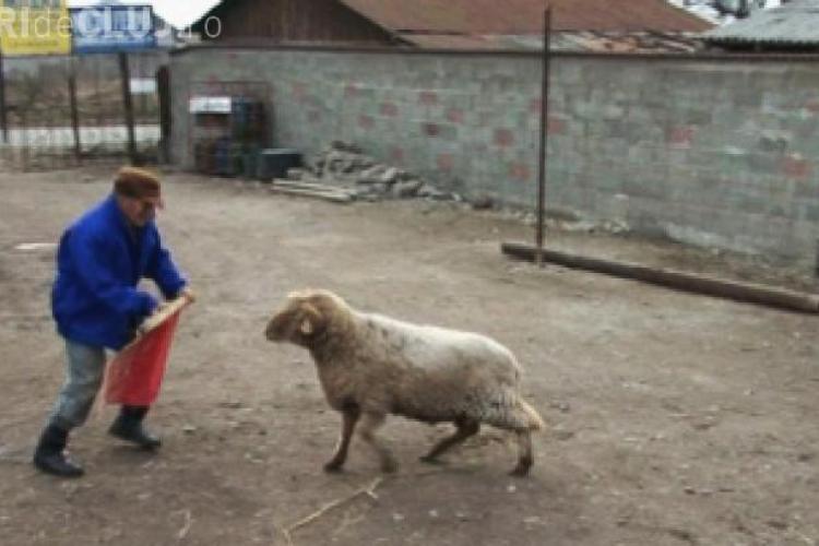 Un român a inventat corida cu berbeci - VIDEO