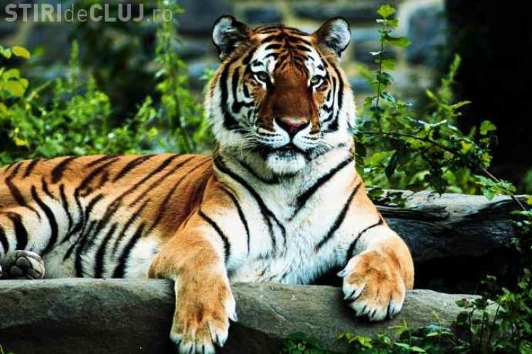 Scene de groază la o grădină zoologică. Un tânăr a sărit în cușca tigrilor pentru a fi mâncat IMAGINI ȘOCANTE
