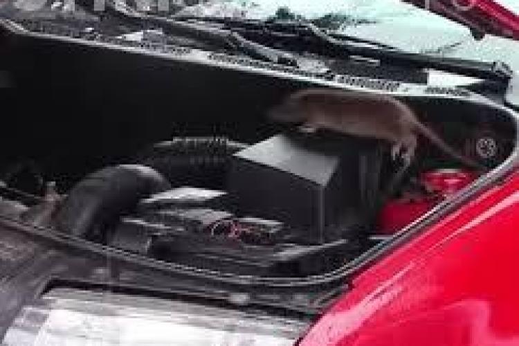Plângeri penale după INVAZIA de șobolani din Florești. Ce spune primarul Horia Șulea
