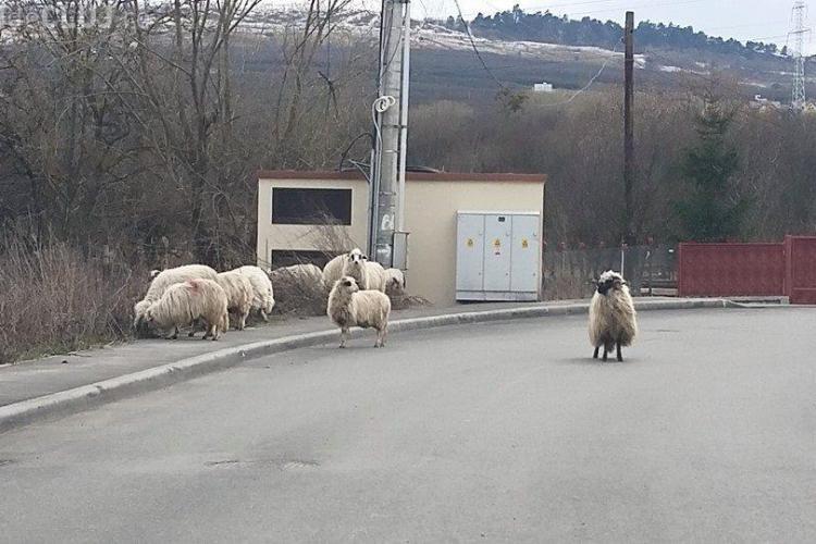 Turmă de oi, pe stradă, la Cluj-Napoca FOTO